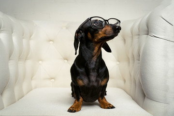 cute close up dog dachshund breed, black and tan, with black glasses in his eyes sits full-length in a white armchair and looks up.