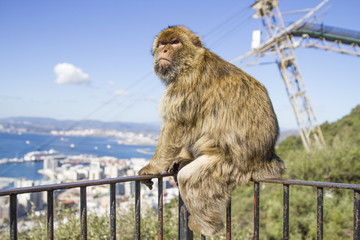 Macaque Monkeys at the Rock of Gibraltar