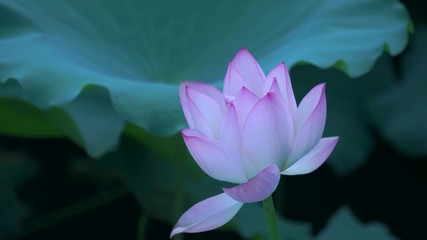 Search photos 4k landscape attraction pond blooms single day 022 beautiful lotus flower blooms in the pond china mightylinksfo