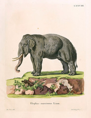 Illustration of Elephant.