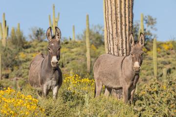 Wild Burros in the Arizona Desert in Spring