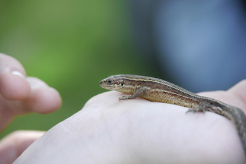 Eidechse auf Handfläche, Reptilien, Echse, lizard, Reptile