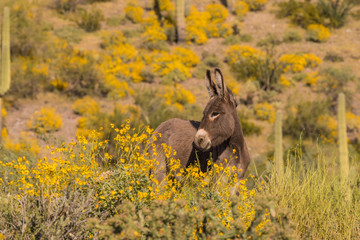 Cute Wild Burro in Arizona in Spring