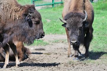 Three Buffaloes
