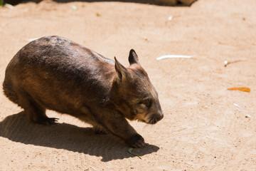 Wombat im Tierpark beim Spaziergang in der Sonne