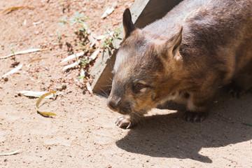 Wombat beim Spaziergang in der australischen Sonne