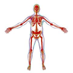 Male body with skeleton inside, 3D illustration