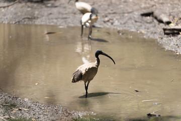 Vogel mit großem Schnabel steht im Wasser