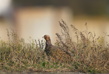A female pheasant sits in a tall grass near a local asphalt road on blurred beige background