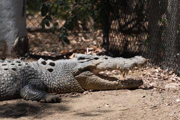 Kopf eines Krokodils mit offenem Maul