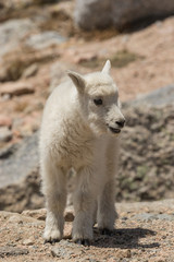 Cute Mountain Goat Kid