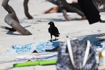 Diebische Elster am Strand auf Beutezug