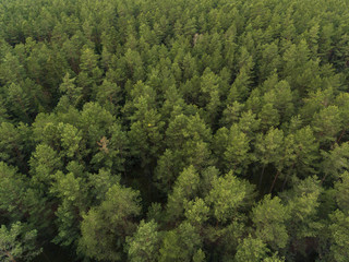 Aerial top down view over pine tree forest with a road in Lithuania.