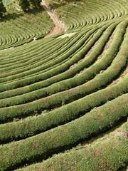 Grüntee-Plantage in Bosung (Südkorea)
