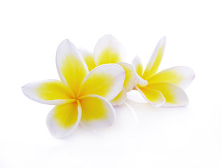 beautiful white plumeria rubra flowers isolated on White background