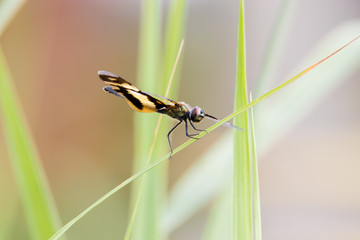 Golden Rhyothemis variegata dragonfly, Kerala, India