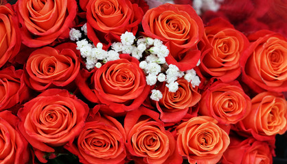 Fototapete - Flower background of red rose