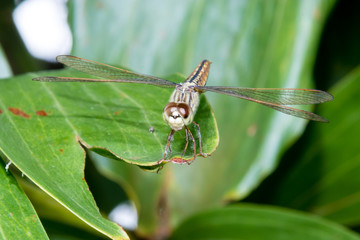 Hydrobasileus croceus Brauer, Amber-Winged Marsh dragonfly