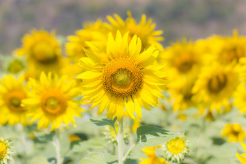 Beautiful of a Sunflower or Helianthus in Sunflower Field, Bright yellow sunflower Lopburi, Thailand