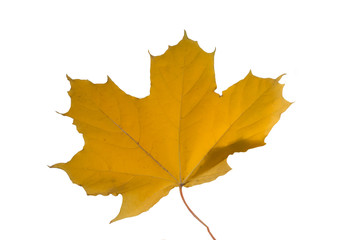 maple leaf isolated, symbol of canada