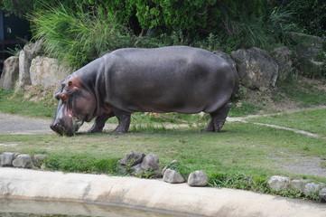 カバ 水辺の生き物 動物園 全身