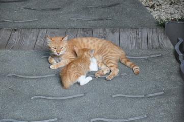 猫の親子 授乳 野良猫