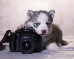 A husky puppy lying with a camera