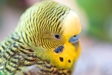 Green budgerigar parrot close up head portrait on blurred  background. Cute budgy.