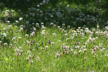 Blühende Kleewiese