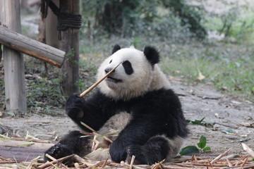 Little Panda Cub is Eating Bamboo Shoot on the Playground, Chengdu Panda Base, China