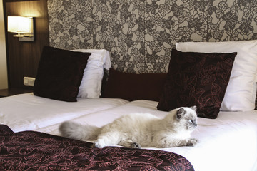 Cat is on the big bed in hotel room. Traveling with pets. Tips for safely staying in a hotel with your cat.