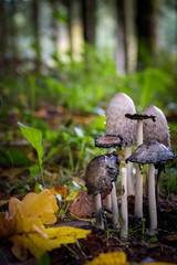 Common ink cap in autumn scenery with yellow and green leaves giving nice contrast