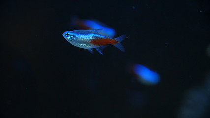 Swarm of Neon Tetra Paracheirodon in nesi freshwater fish. Fish in the aquarium