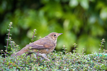 Song Thrush on a hedge