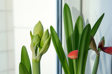 Potted hippeastrum houseplants with flower buds growing on window sill in spring, gorgeous bulbous plants for interior decoration and bouquets
