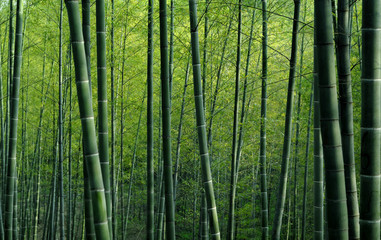 Photo sur Plexiglas Bambou Bamboo forest in China