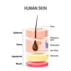 Layers Of Human Skin.
