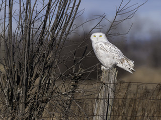 Snowy Owl Perched on Post in Fall
