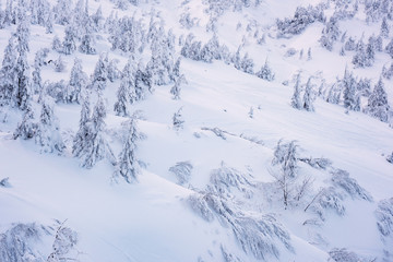 Winter background, snowy firs on the mountain side