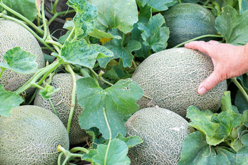 Melon fruits and plant
