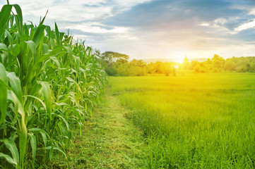 Pictures of corn fields and rice fields in the morning