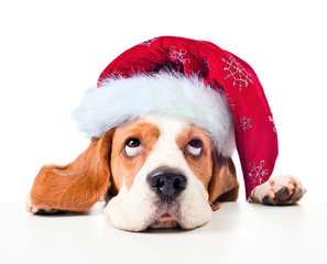 Beagle in Santa hat isolated on white.