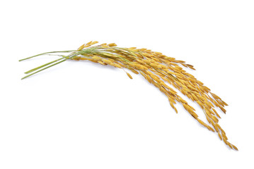 yellow paddy rice isolated on white background