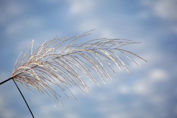 Wall Mural - white reeds grass texture as background with blue sky.