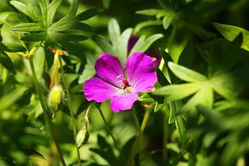 Wildflower of bloody geranium (Geranium sanguineum)
