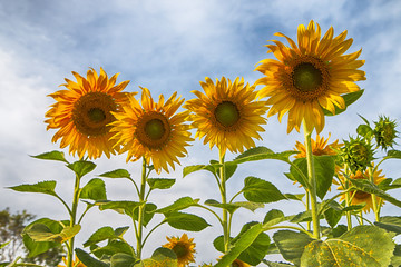 Fototapete - Sunflower in the field at Lopburi,Thailand