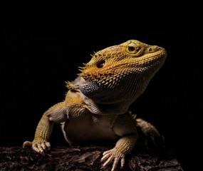 Bearded Dragon Lizard posing