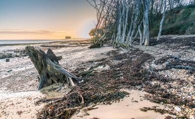 Dead tree on Bembridge Beach, Isle of Wight
