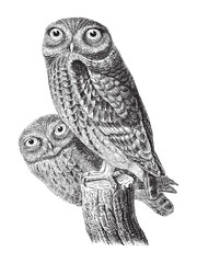 Little Owl (Athene noctua) / vintage illustration