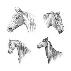 Horse head / vintage illustration